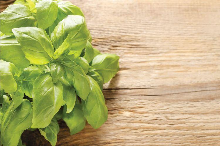 indian herbs-basil or tulsi