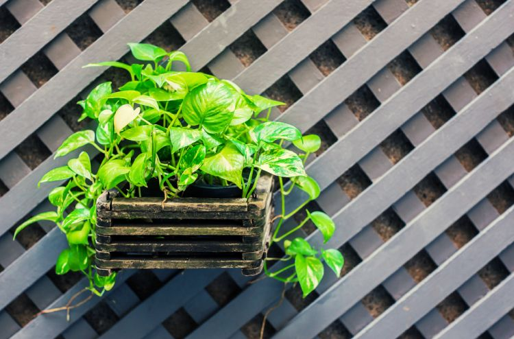 plants that can grow without sunlight-pothos plant