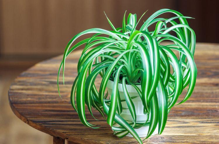 indoor plants-spider plant