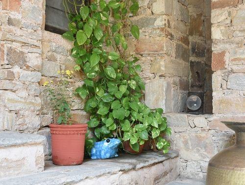 Vastu friendly plants_money plant