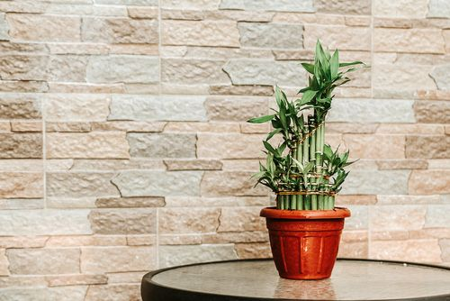 瓦斯杜 Friendly Plants_Potted Bamboo