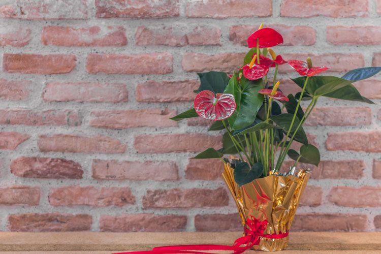 Indoor plants_anthurium