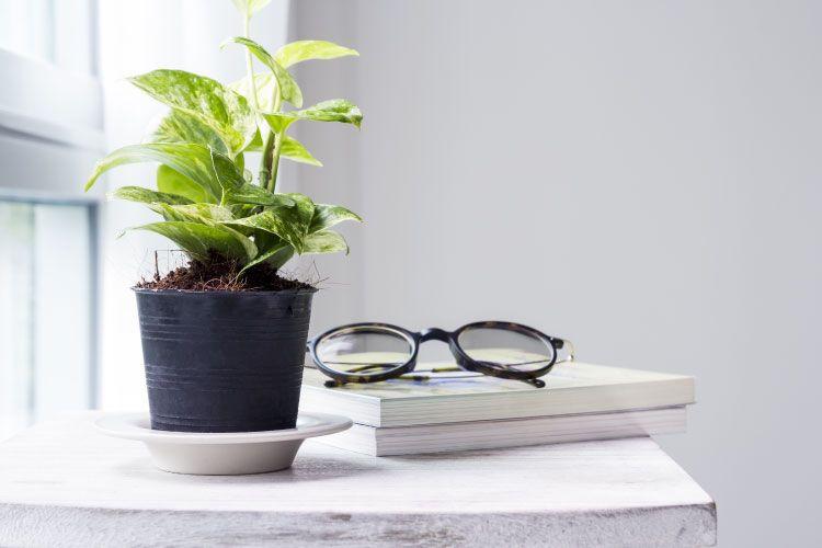 Indoor plants_money plant
