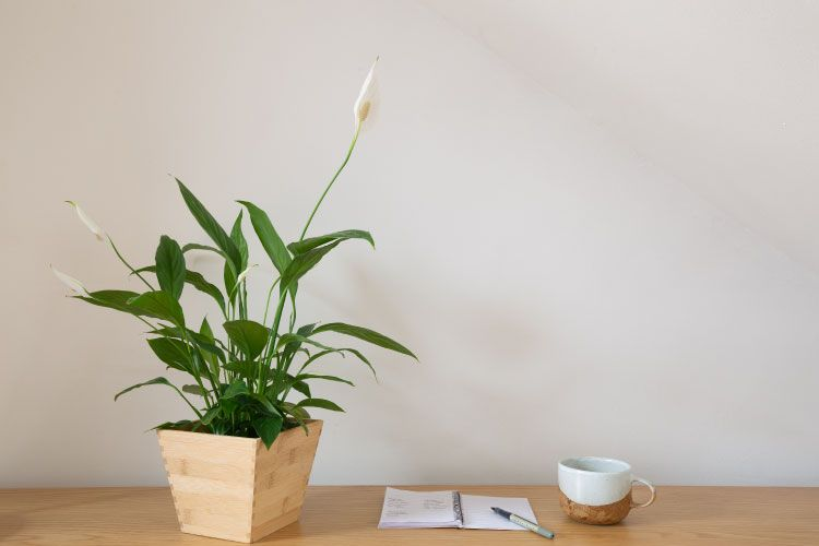 Indoor plants_peace lily
