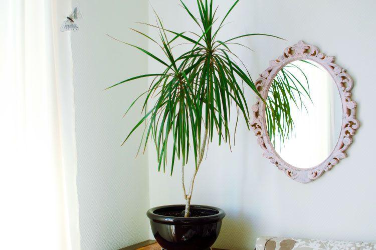 Indoor plants_song of india