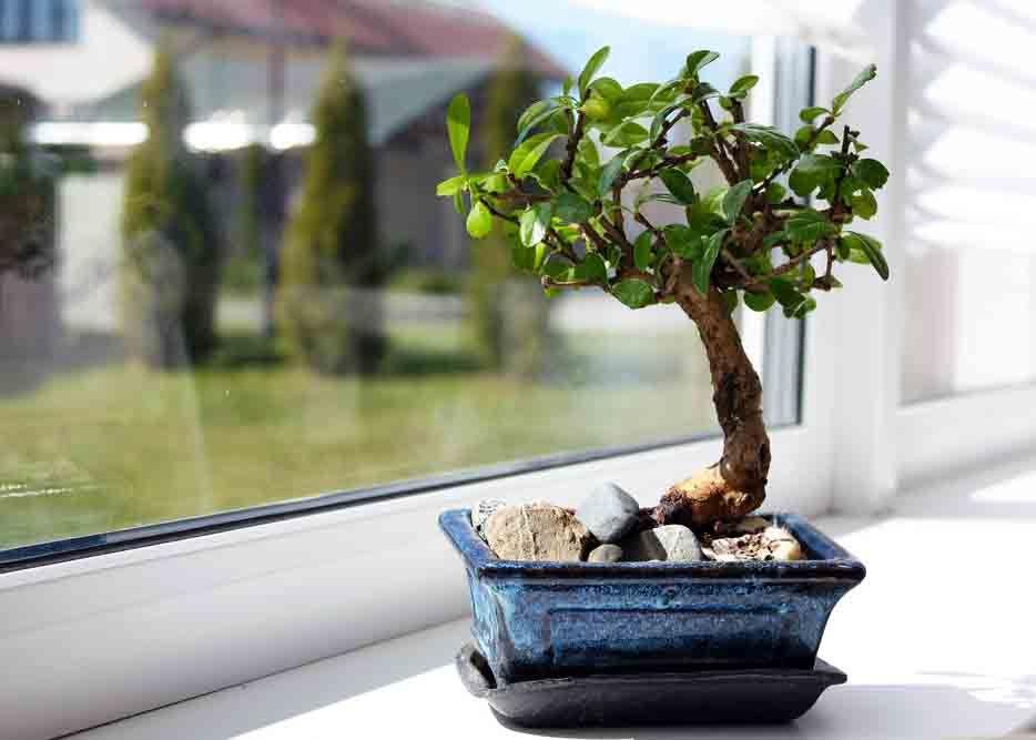 Vastu plants_bonsai