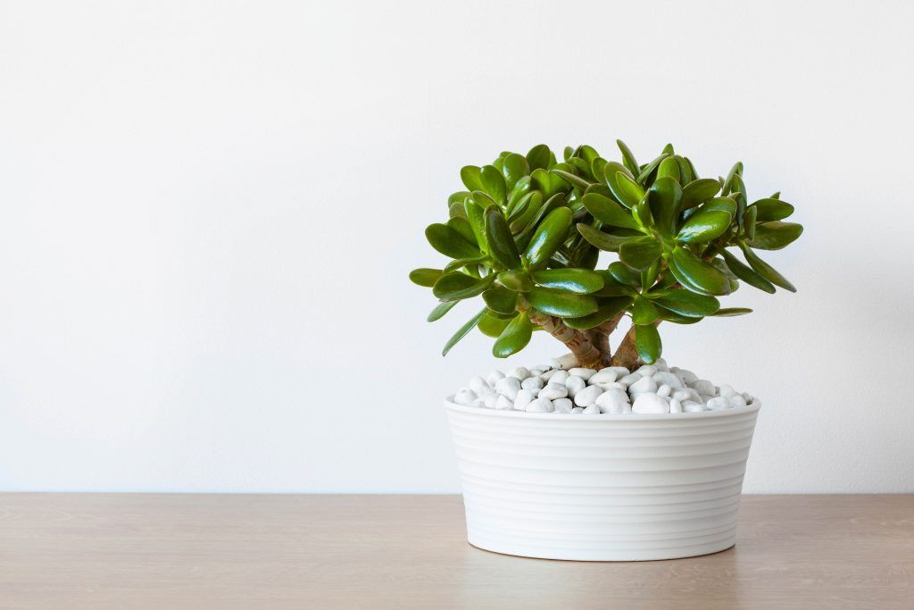 office plants-jade plant-glossy leaves-dark green leaves-small plant