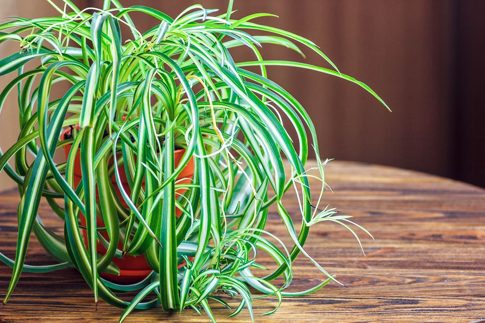 plants that can grow without sunlight- spider plant
