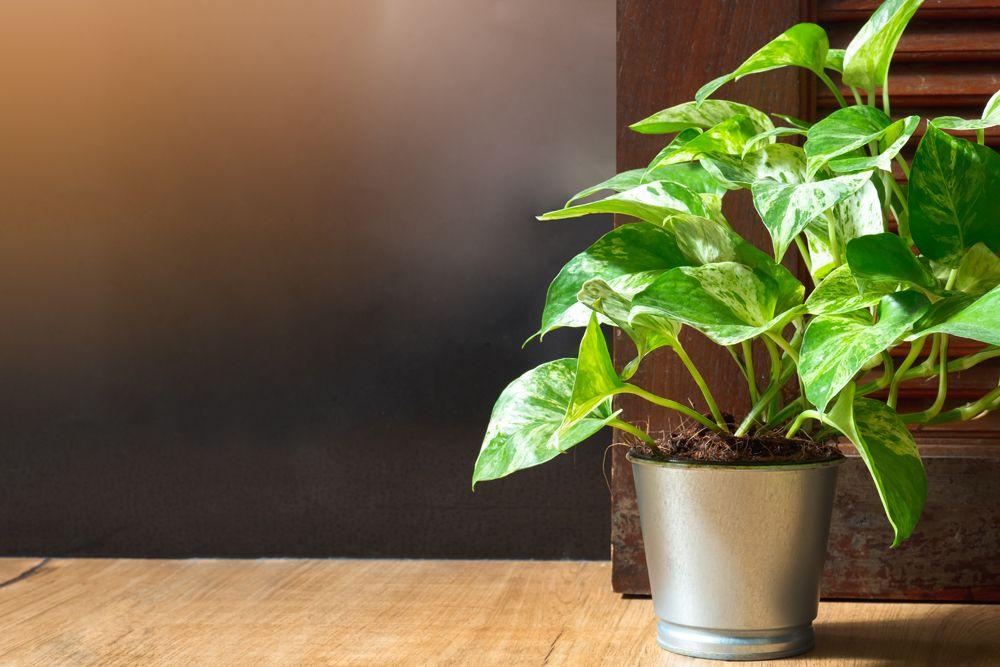 low maintenance plants- pothos