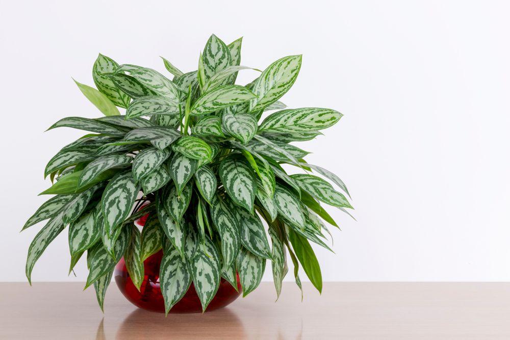 low maintenance plants- chinese evergreen