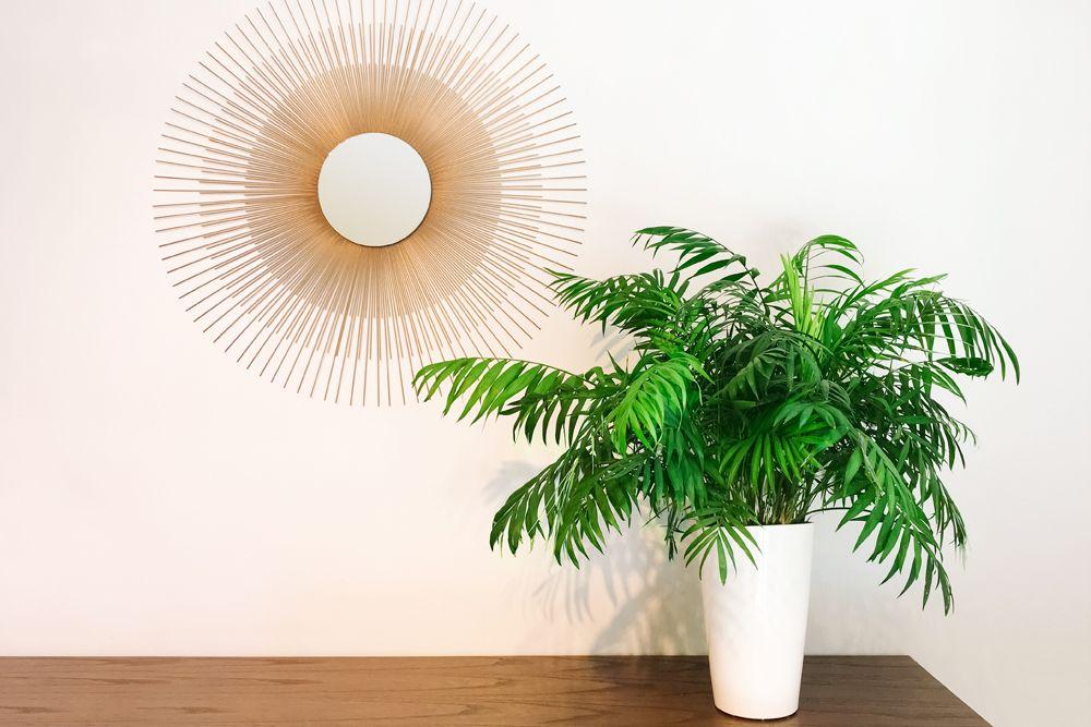 plants without sunlight- parlor palm