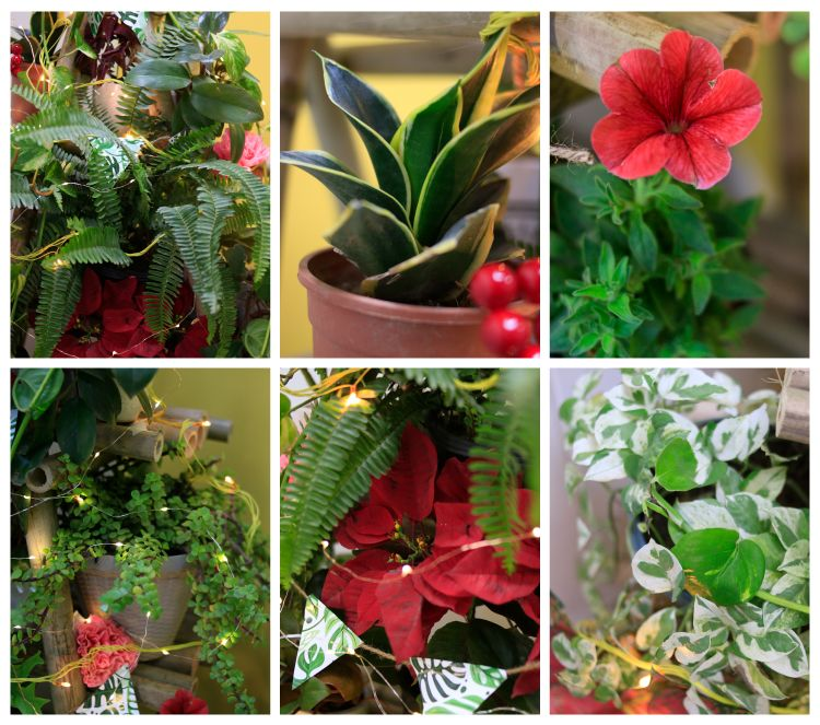 Christmas tree potted plants