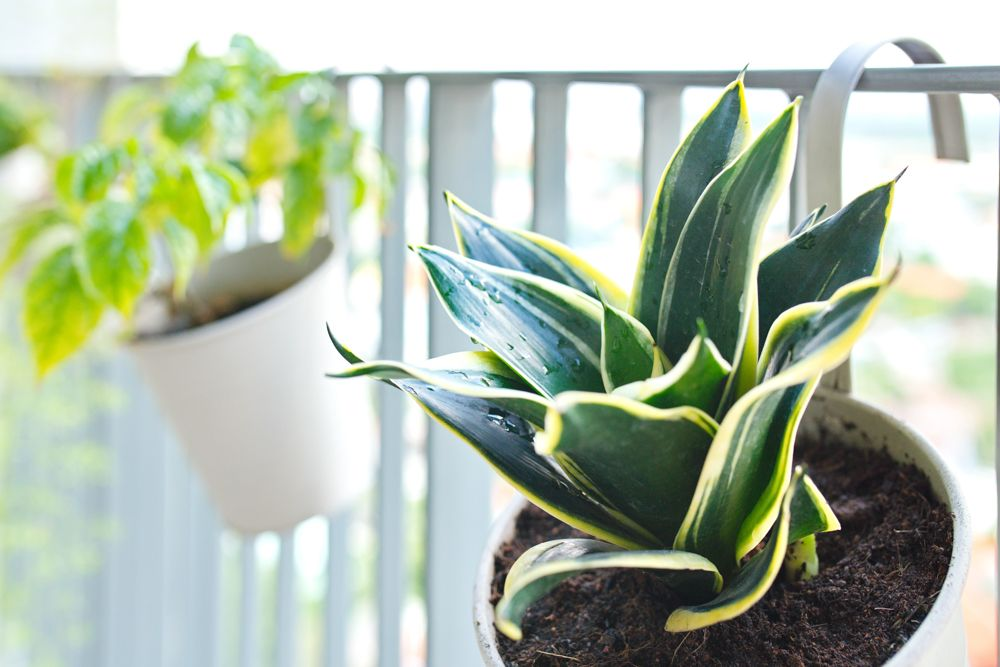 air purifying plants-snake plant
