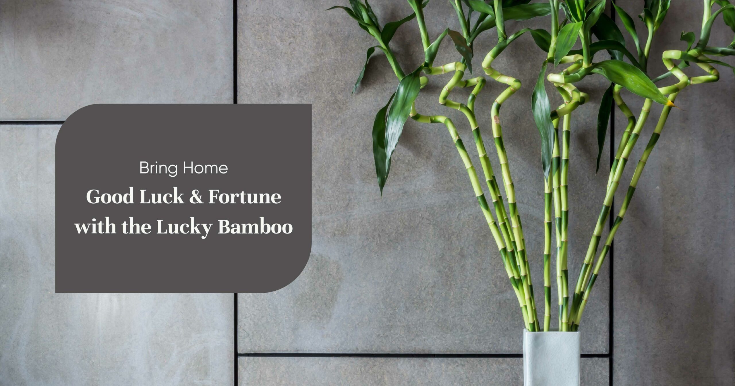 What Does A Lucky Bamboo Plant Mean