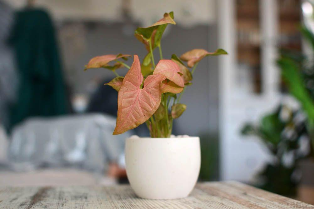 best indoor plants-pink syngonium