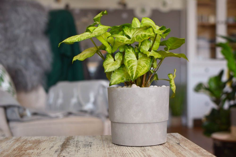 best indoor plants-white syngonium