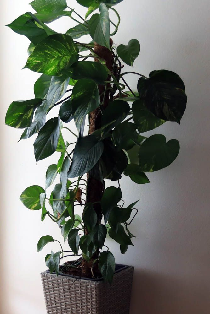best indoor plants-philodendron