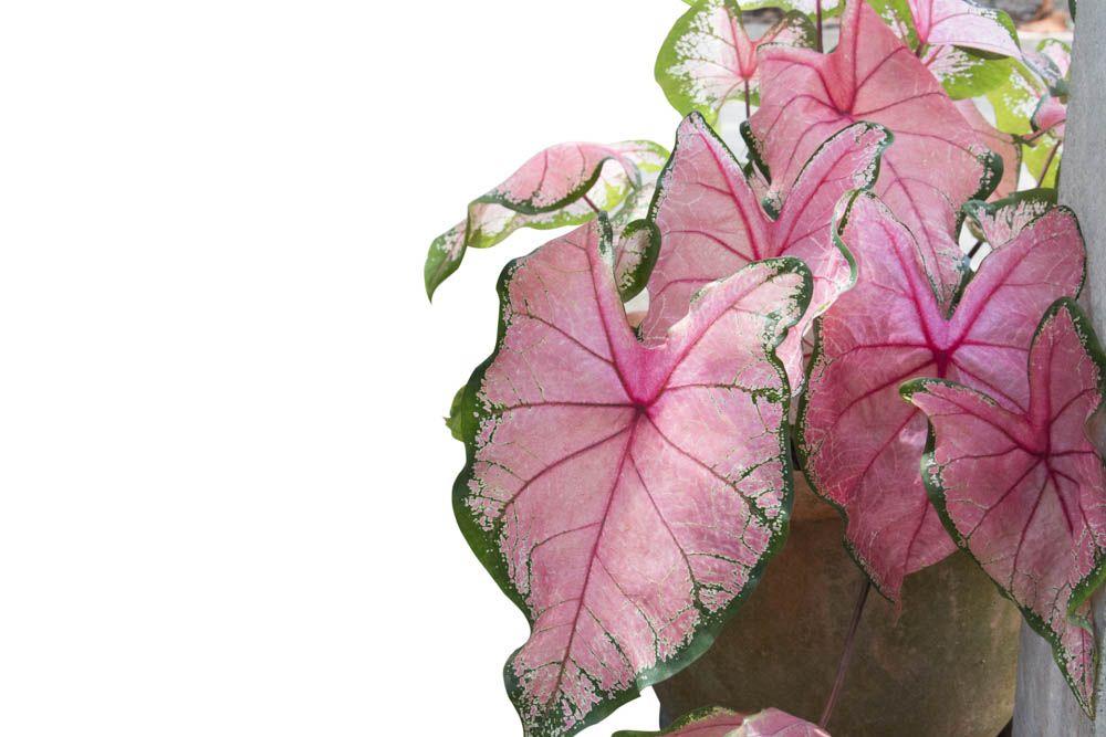 best indoor plants-aglaonema-pink aglaonema