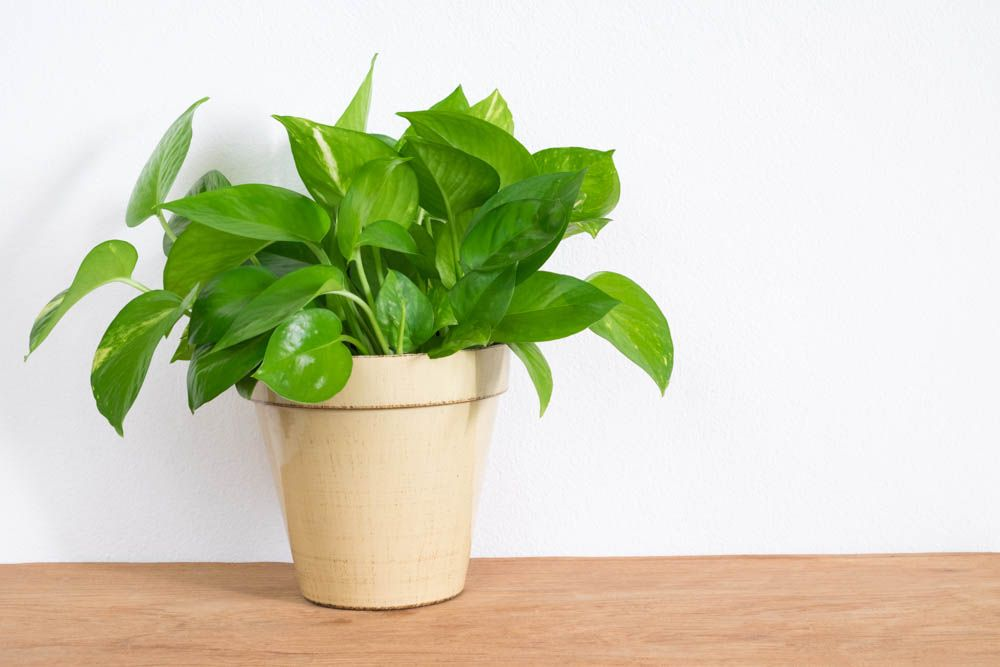money plant-golden money plant-white ceramic pot
