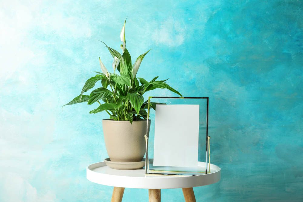 peace lily plant-lily potted plant-blue wall ideas