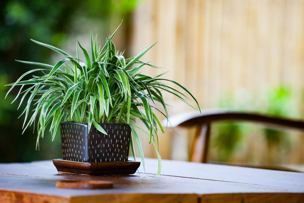 spider plant-air purifying plants