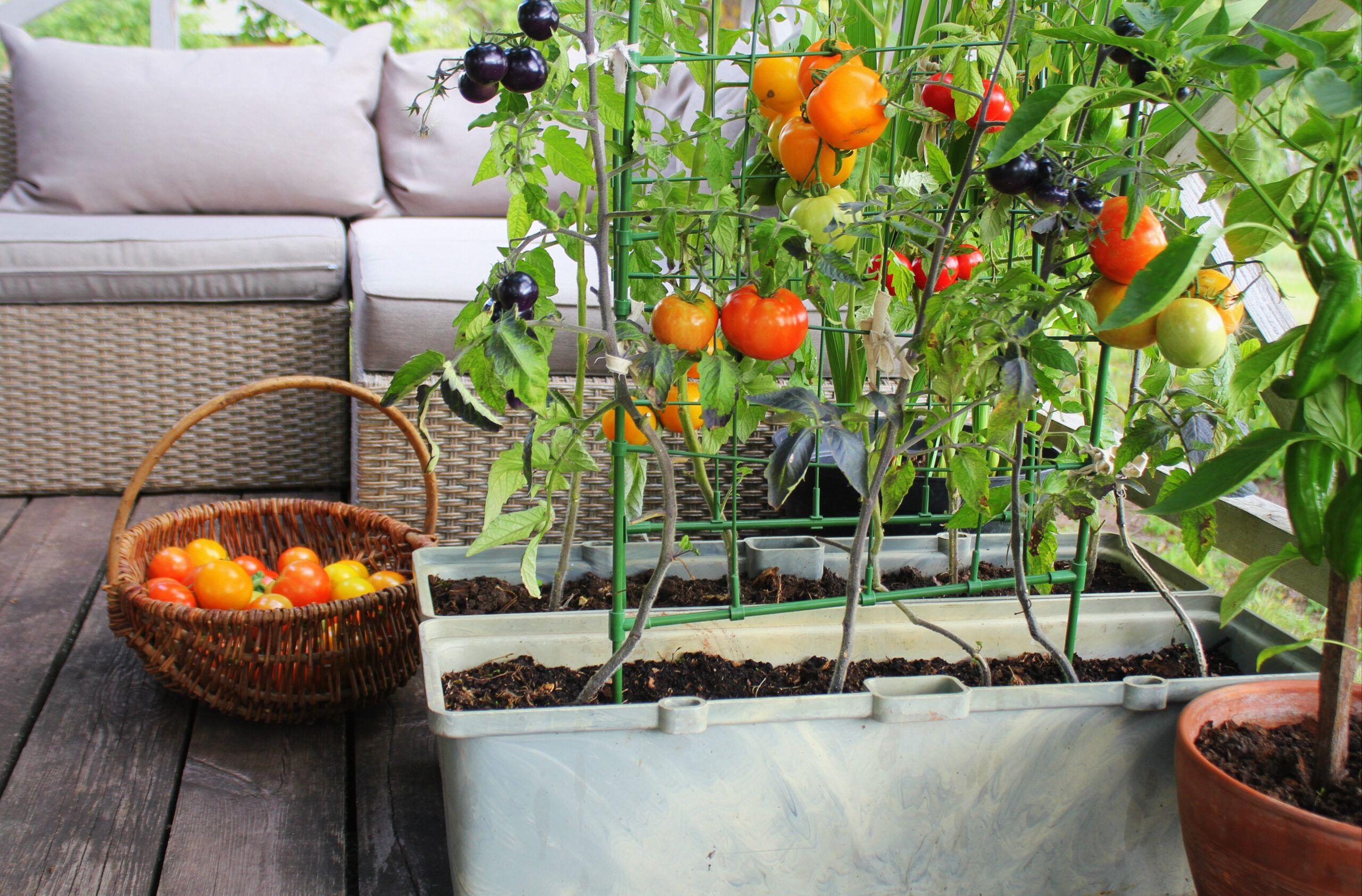 balcony vegetable garden-tomato plants