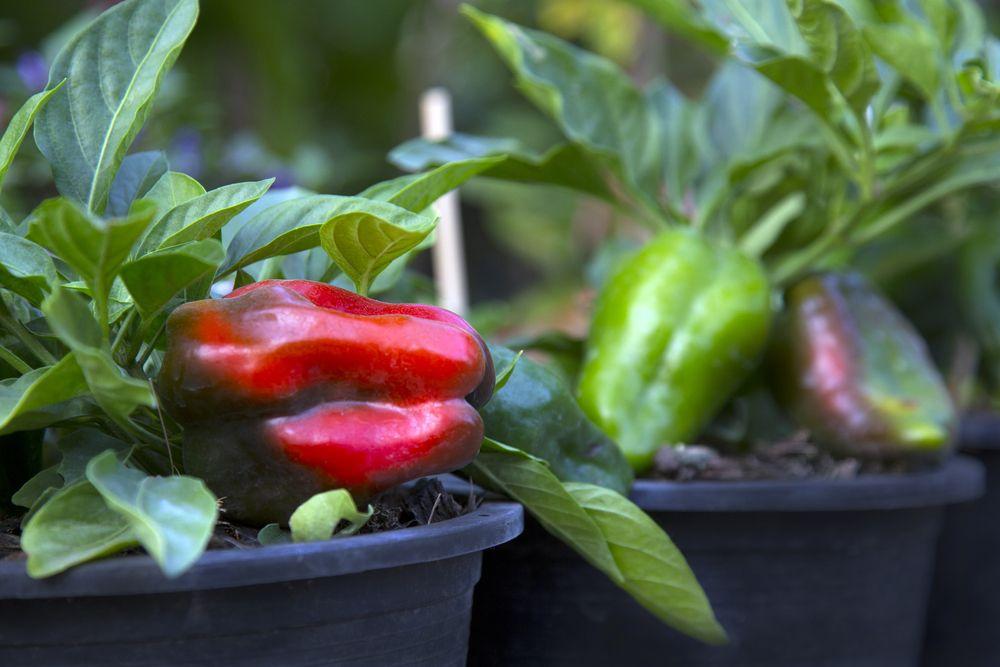 balcony vegetable garden-bell pepper plants
