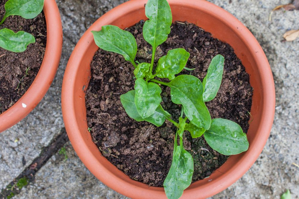 balcony vegetable garden-spinach plants