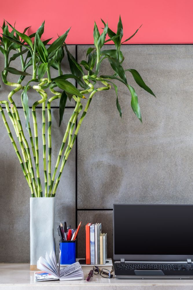office-desk-plants-bamboo-plant