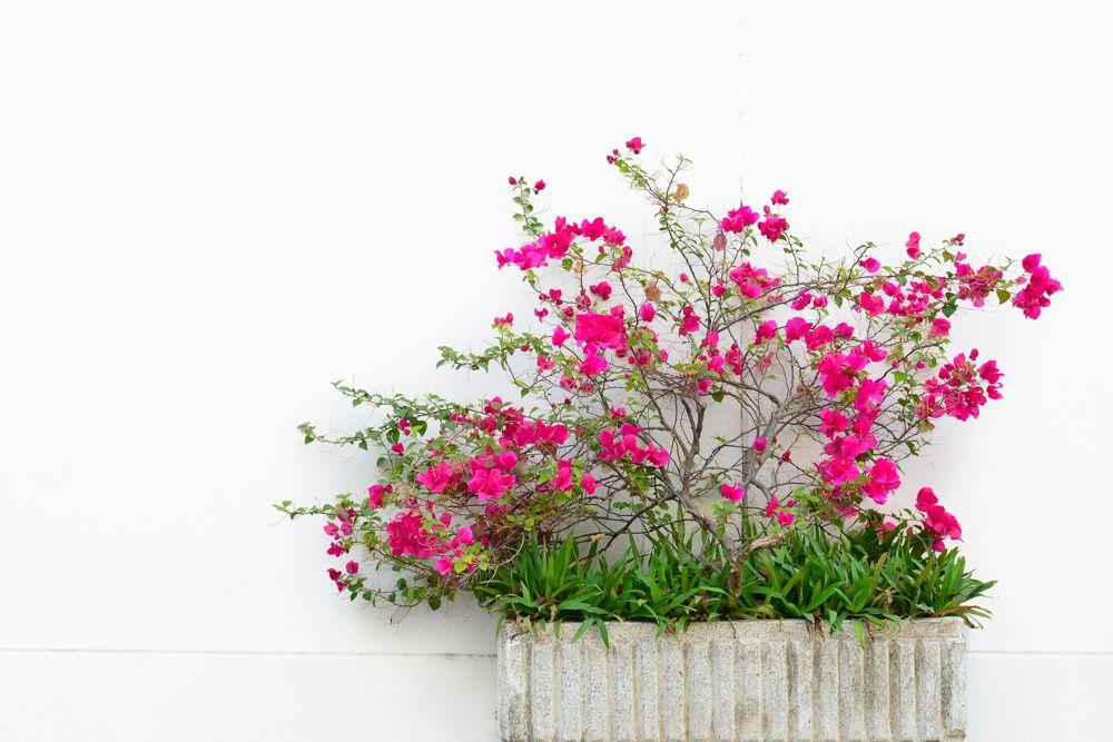 potted bougainvillea plant-bougainvillea