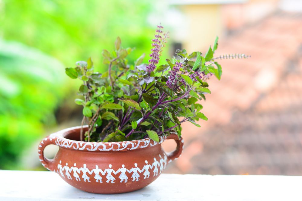 tulsi plant-holy basil plant