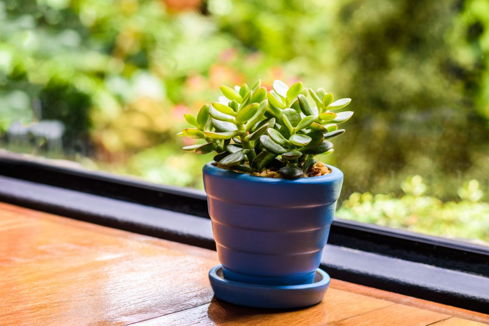 what plants are plants good for a balcony garden in south india-jade plant