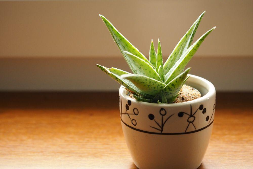 aloe vera plant-potted aloe vera plant