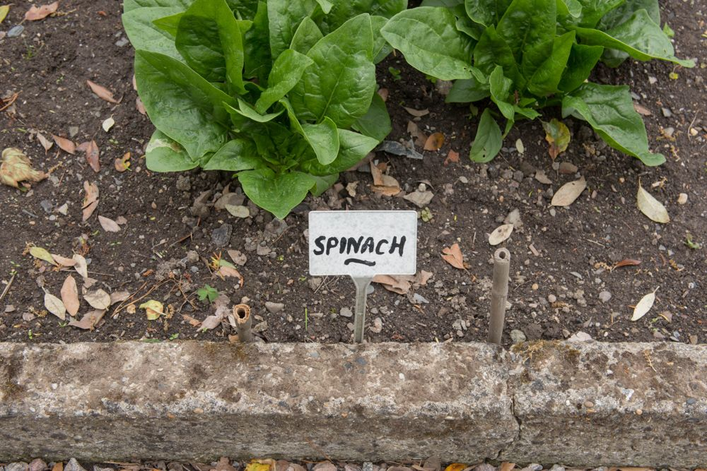 easy-to-grow-vegetables-at-home-india-spinach-plant