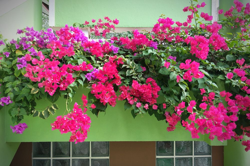 indoor plants india-bougainvillea-balcony
