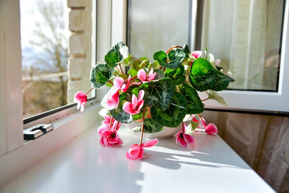 watering indoor plants-wilted plant