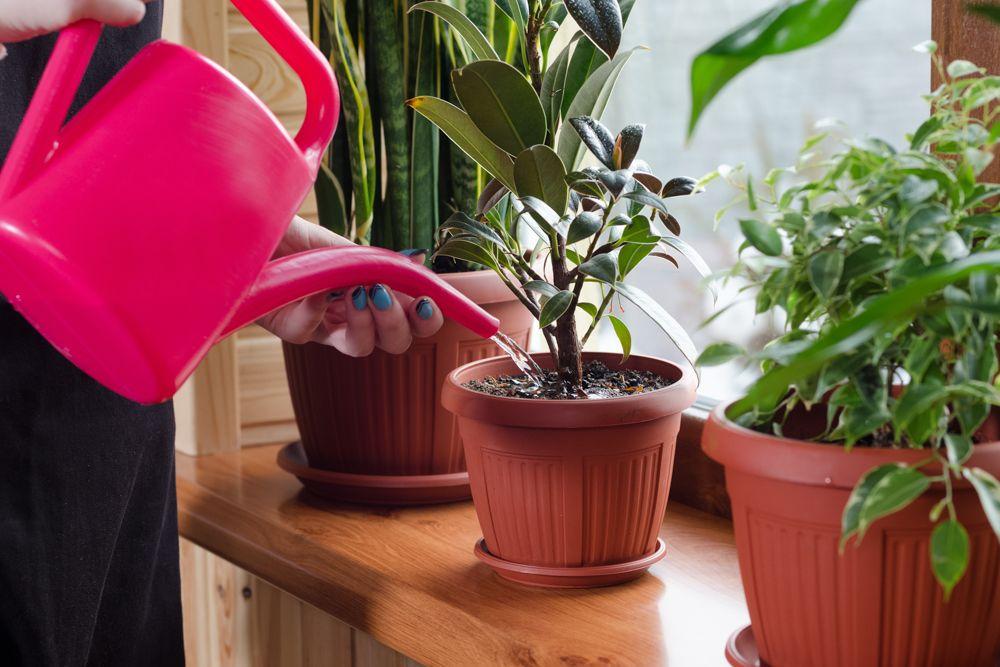 watering indoor plants-watering can