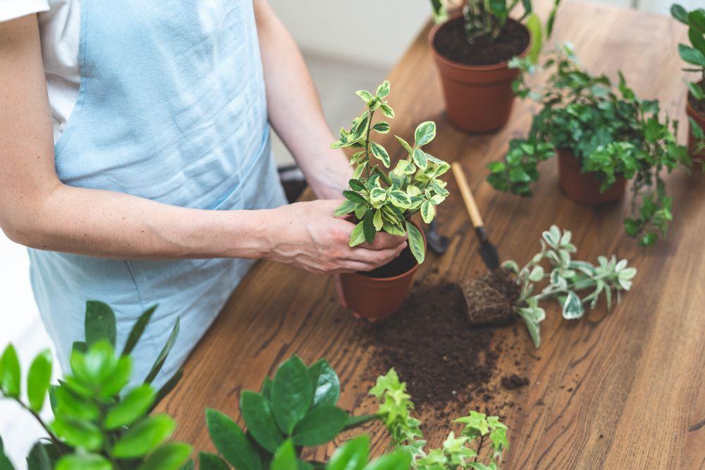 watering indoor plants-overwatering-repotting