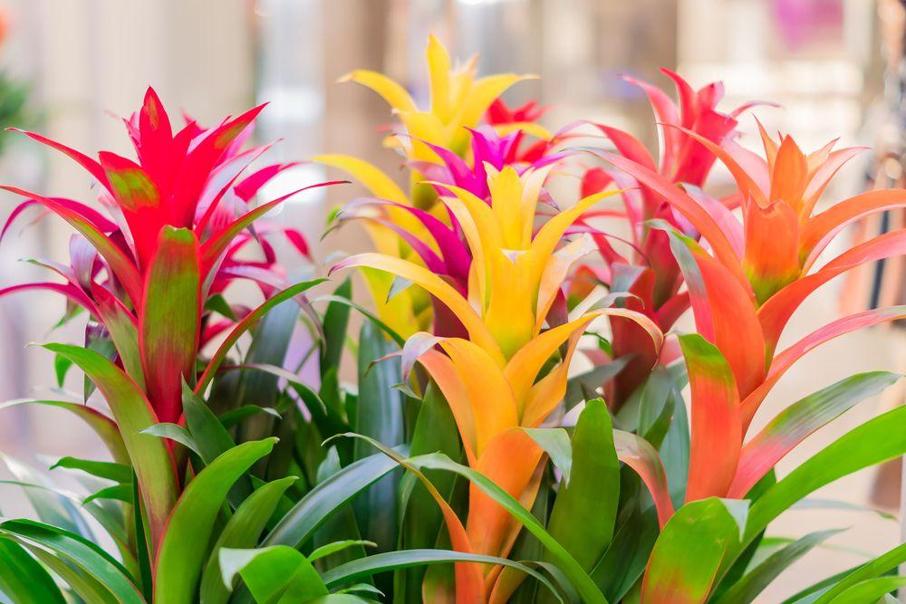 indoor plants- bromeliads
