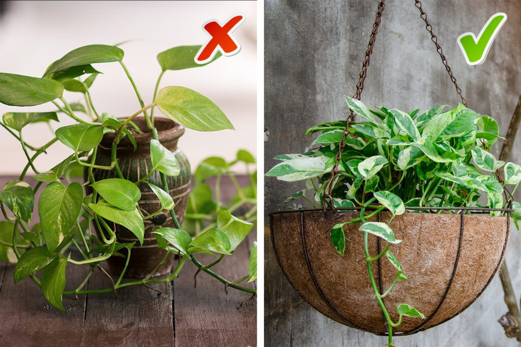 money plant vastu - don't let it touch the ground