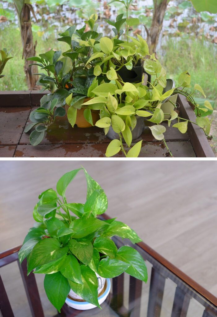 money plant vastu - airy corners