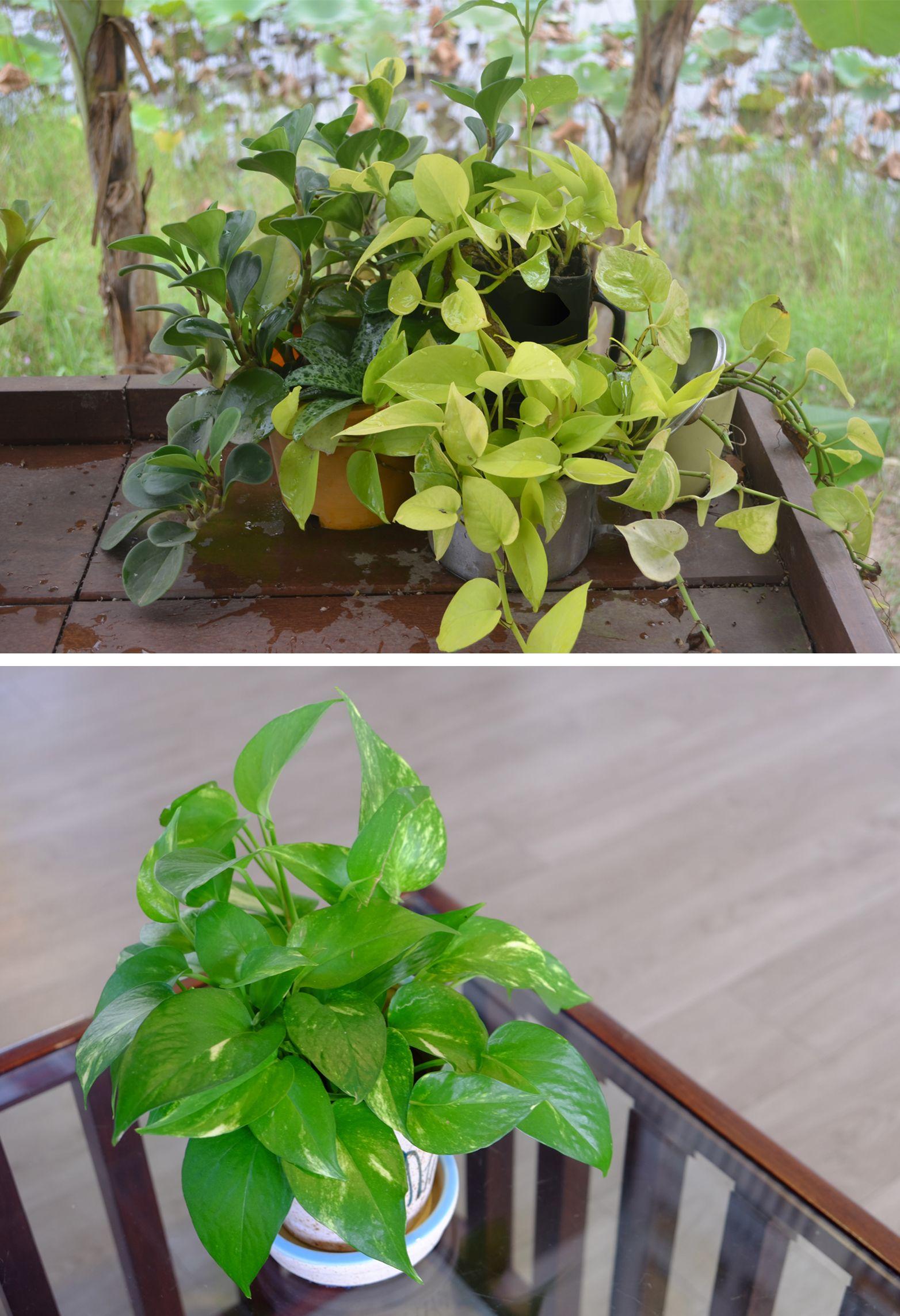 money plant vastu - airy corners