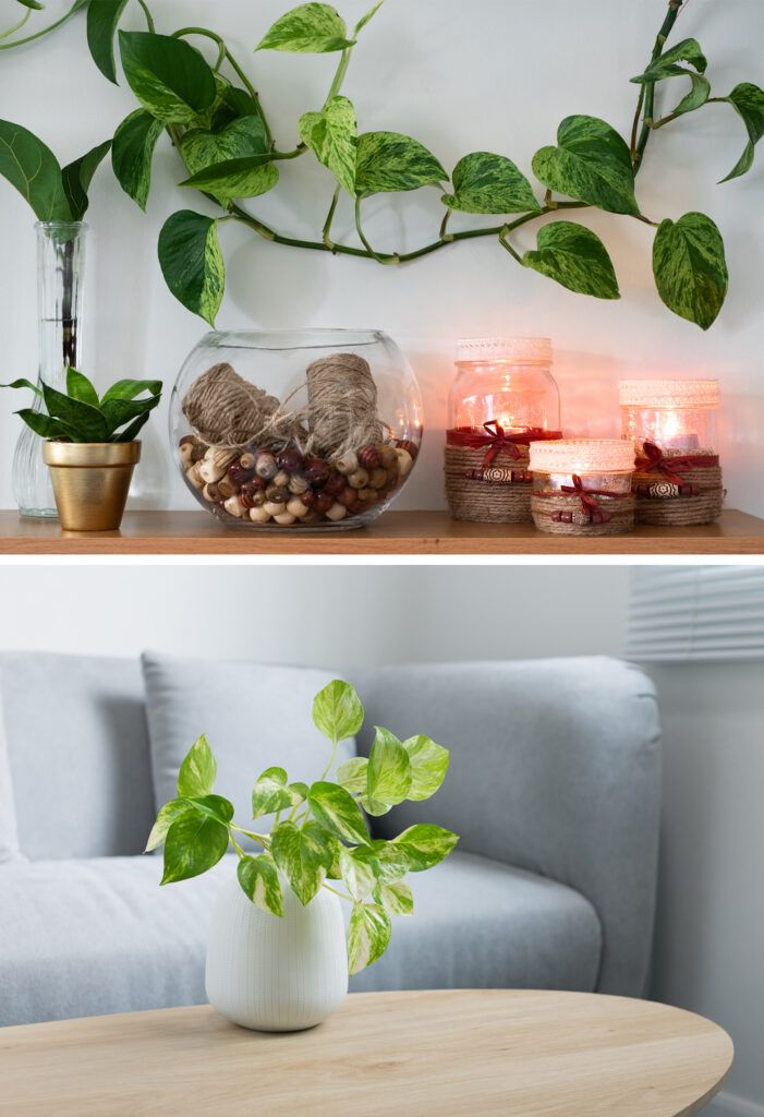 money plant vastu - indoor plant