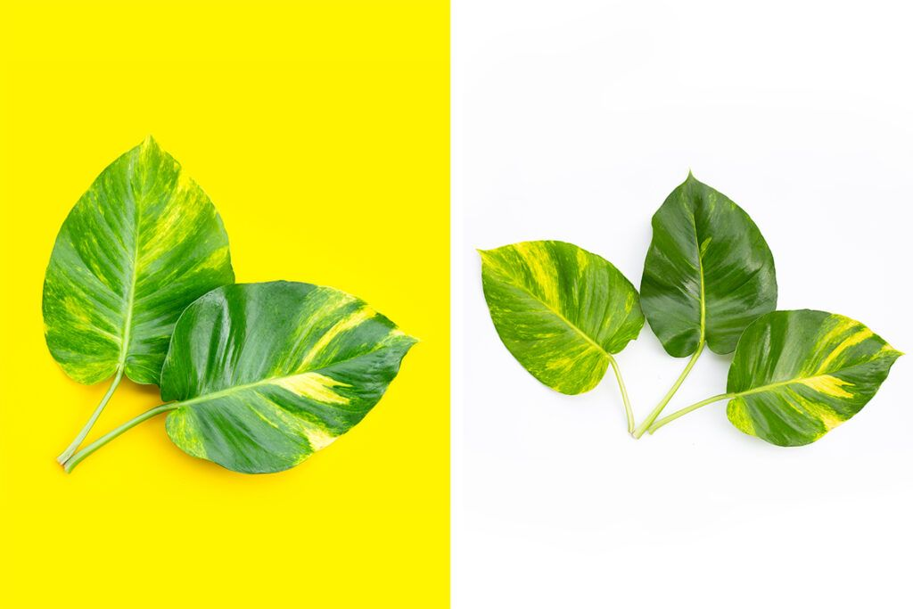 benefits of heart shaped leaves