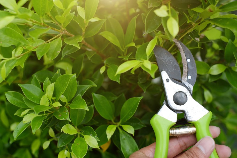 summer care for plants-prune regularly