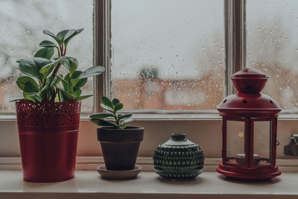 jade plant-potted plants