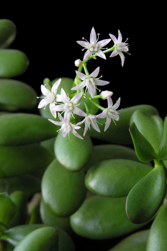 jade plant-flowing jade plant plant