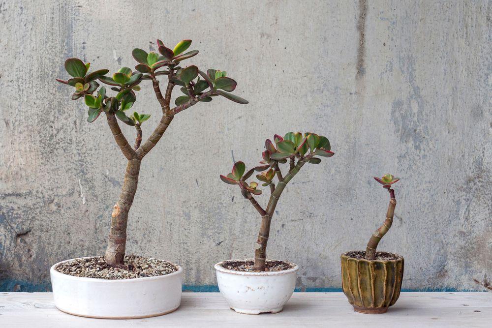 jade plant-healthy plant