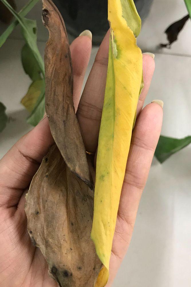 plant diseases-under watering