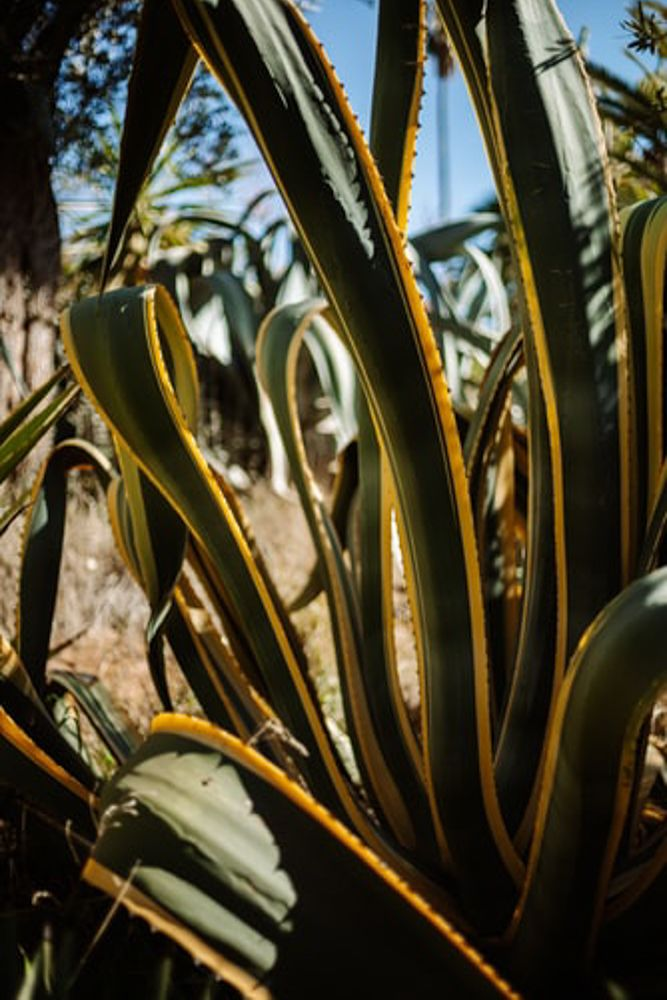 droopy plant-snake plant